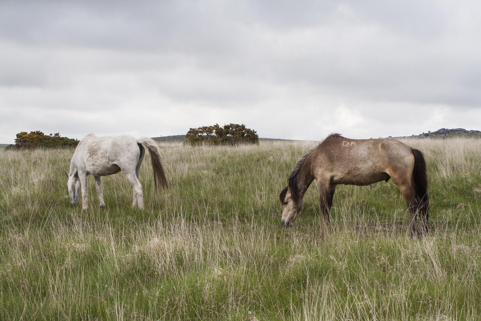 Wild ponies on Dartmoor