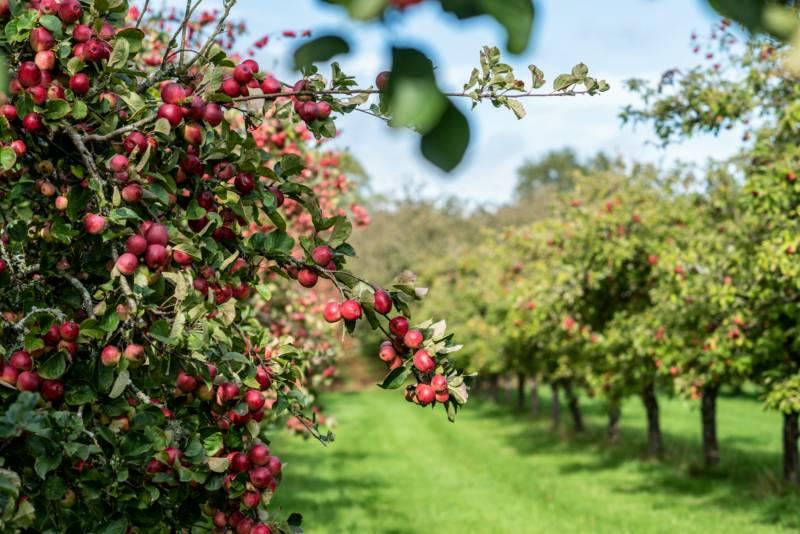 Cider Farm Orchard Campsite
