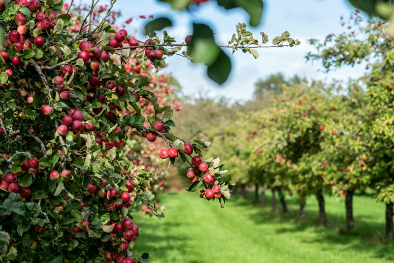 Cider Farm Orchard Campsite Strong Orchard, Pineapple Lane, Waytown, Bridport, Dorset DT65HZ